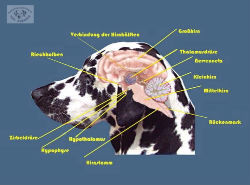 Fein Hund Rückenmark Anatomie Zeitgenössisch - Anatomie und ...