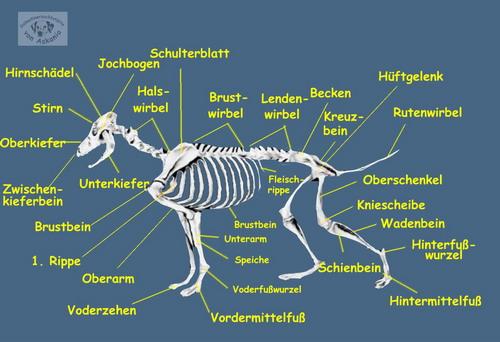 ASKANIA-Dalmatiner - Anatomie